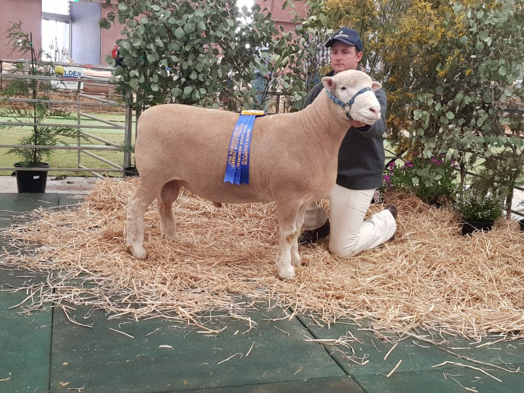 2017 Senior Champion Ram Lamb