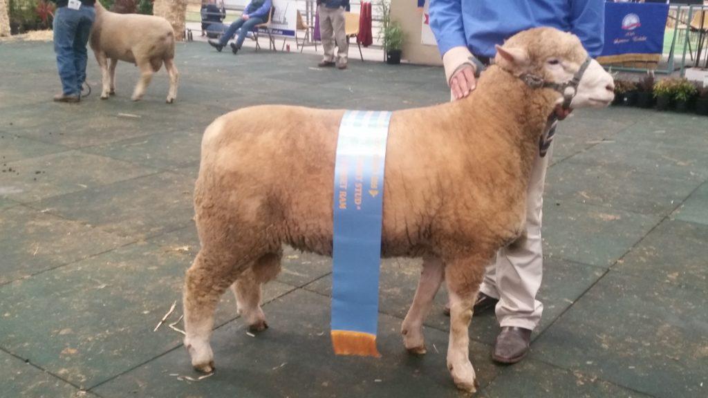 2016 Champion Ram Lamb