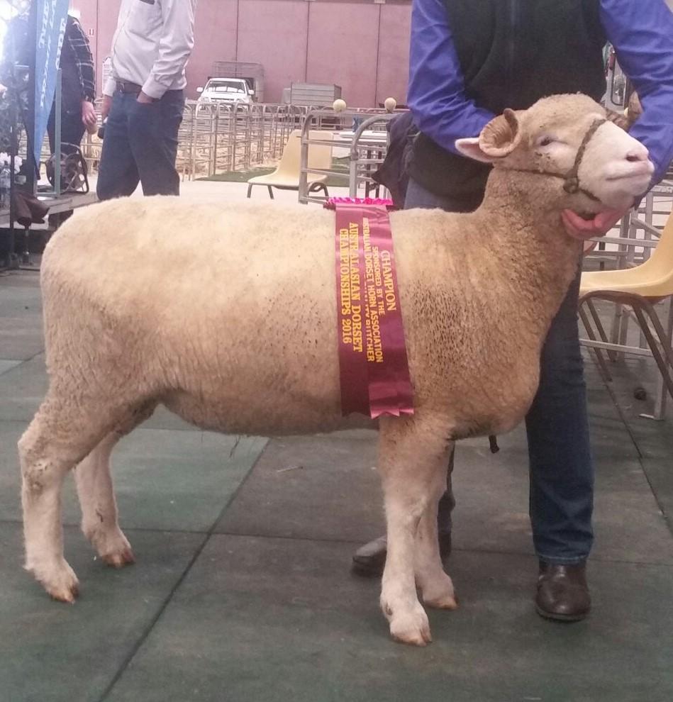 2016 Dorset Horn Ewe Champion