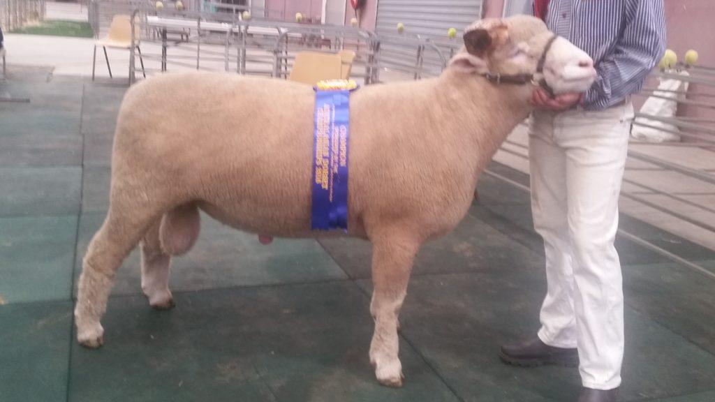 2016 Dorset Horn Ram Champion