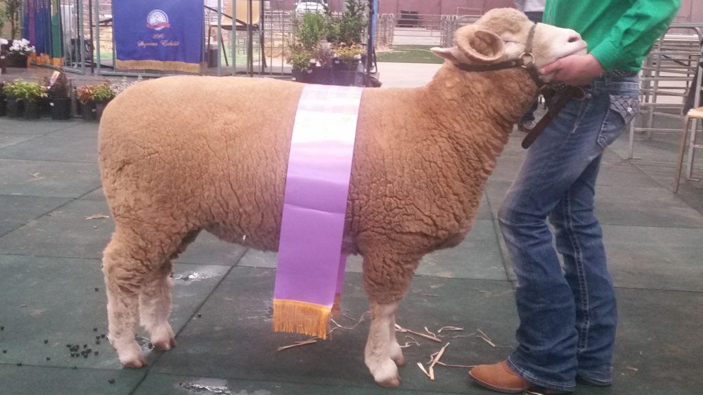 2016 Dorset Horn Ram Reserve Champion